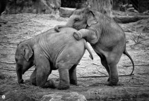 Leapfrogging-baby-elephants-at-chester-zoo-by-Mike-Shaw